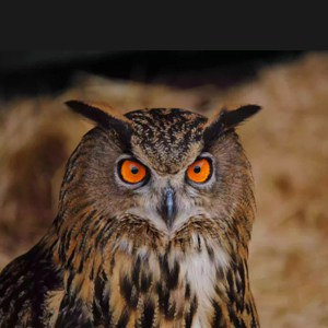 Aves Rapaces Nocturnas