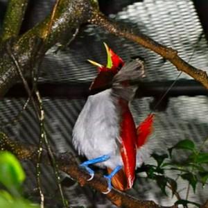Aves Frugívoras