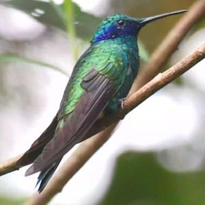Aves Nectarívoras