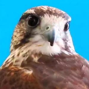 Aves Rapaces Diurnas