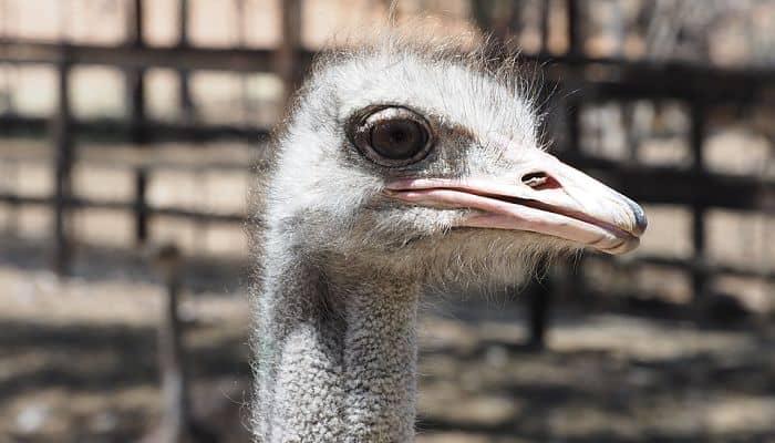 avestruz africana