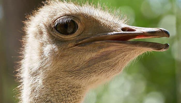 Avestruz Común