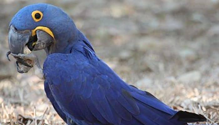Guacamayo azul de Brasil