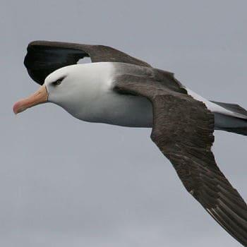Albatros Campbel