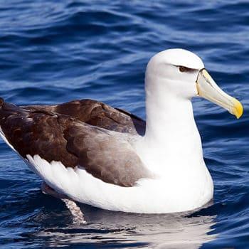 Albatros Mollymawk