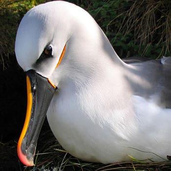 Albatros capa blanca