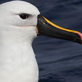 Albatros nariz amarilla