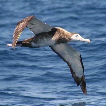 Albatros hollín