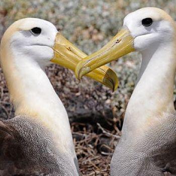 Albatros ondulado