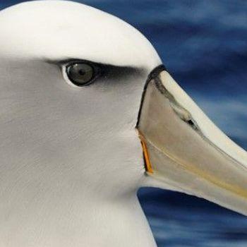 Albatros tímido