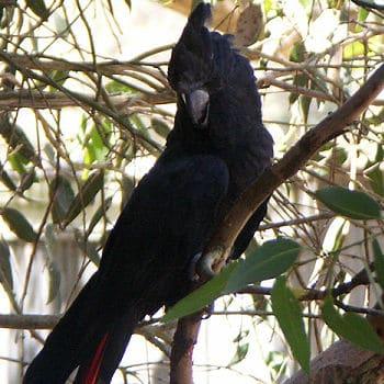 cacatúa negra brillante