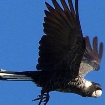 cacatúa negra cola blanca