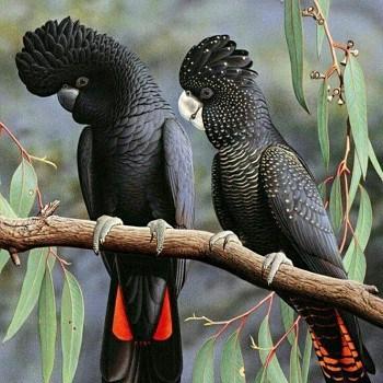 cacatúa negra cola roja