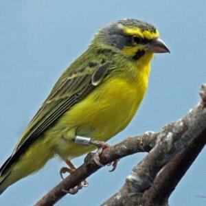 canario de frente amarilla