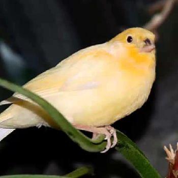 Roller canario
