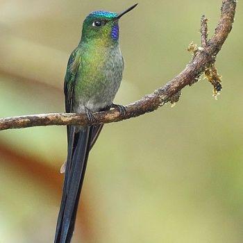 colibrí cola larga