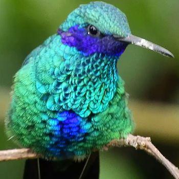 colibrí brillante