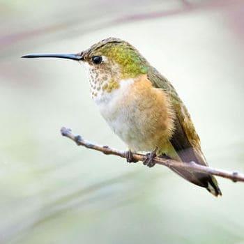 colibrí cola anillada