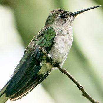 colibrí de bosque seco