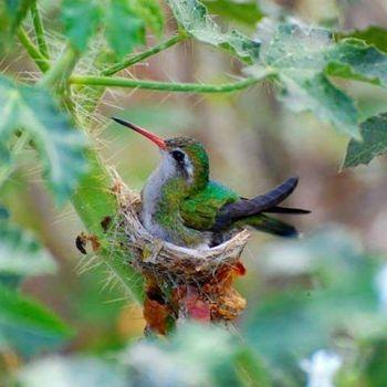 colibrí diminuto