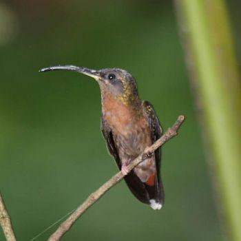 colibrí ermitaño peludo