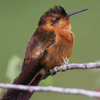 colibrí ermitaño rojizo