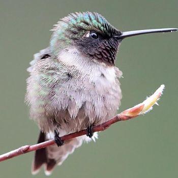 colibrí garganta oscura