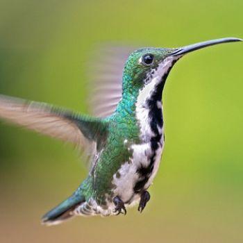 colibrí mango