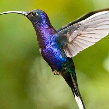 colibrí topacio