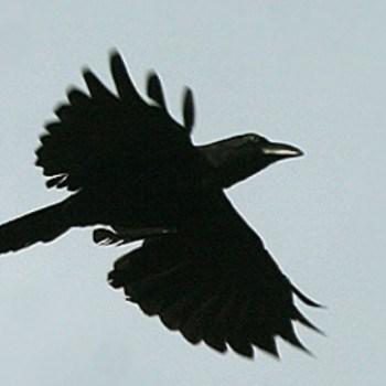 cuervo de bangai