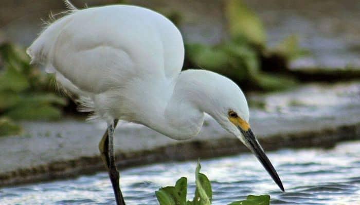 Aves limícolas