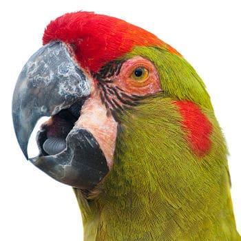 guacamayo de frente roja