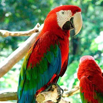 Guacamayo rojo verde