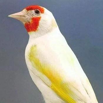 jilguero albino