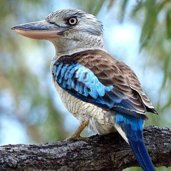 kookaburra de alas azules