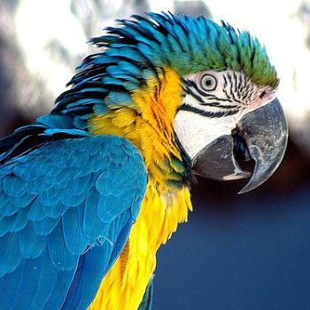 loro alas azules