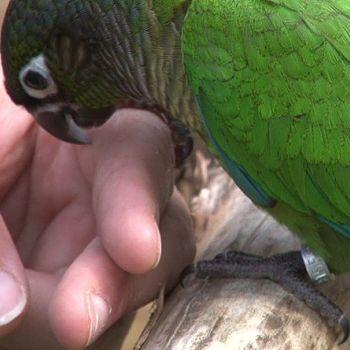 cotorrilla mejilla verde