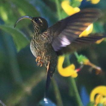 colibrí pico anzuelo