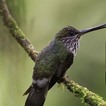colibrí pico de diente