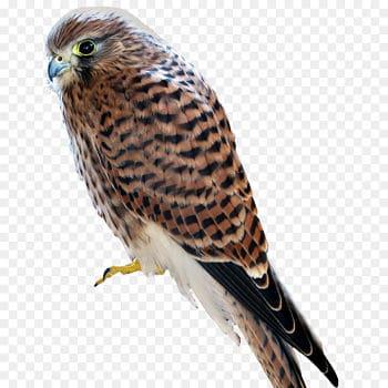 pinzón halcón