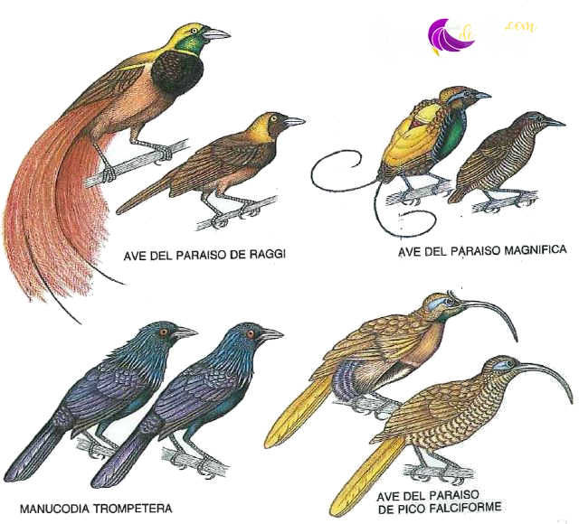 DIFERENCIACIONFISICA entre machos y hembras (conocida como dimorfismo sexual), representada aquí por cuatro especies. El dimorfismo sexual es más pronunciado en el ave del paraíso de Raggi (arriba, izquierda): los machos, mayores que las hembras, están adornados con plumas anaranjadas en los flancos, que resultan muy vistosas cuando el macho se exhibe. La hembra del ave del paraíso de Raggi, lo mismo que todas las hembras de los Paradiseidos, es de colores apagados. El macho y la hembra del ave del paraíso magnífica (arriba, derecha) alcanzan una talla similar, pero aquél posee brillantes colores y dos plumasinsólitas, los alambres caudales, que hace fulgurar cuando corteja. Machos y hembras del ave del paraíso de pico falciforme (abajo, derecha) tienen picos largos y curvados, que emplean para extraer insectos de la madera y frutos de sus cápsulas. Los machos y las hembras de la manucodia trompetera (abajo, izquierda) son monomórficos.